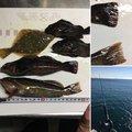 MANIANさんの愛知県知多郡でのアイナメの釣果写真