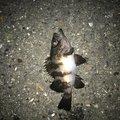 うささんの三重県四日市市でのメバルの釣果写真