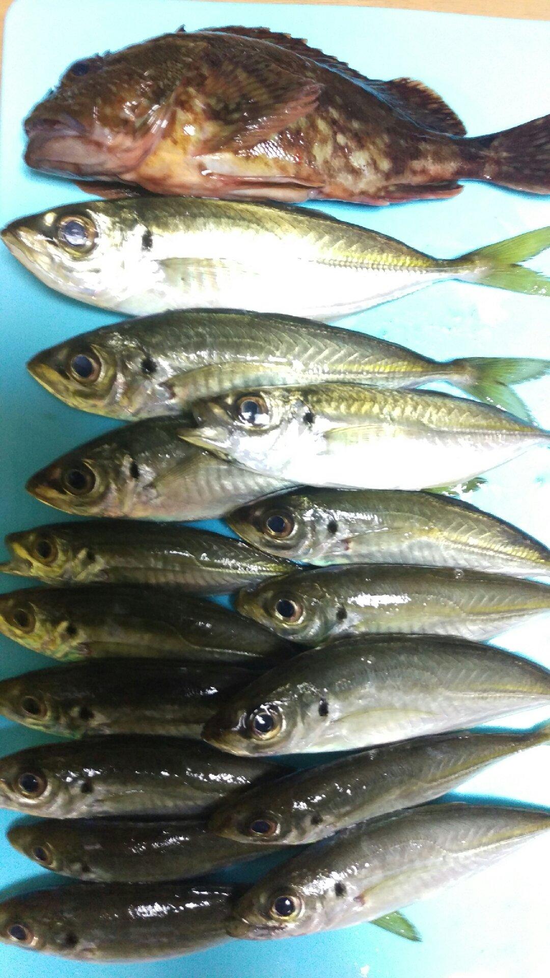 古藤さんの投稿画像,写っている魚はカサゴ,アジ
