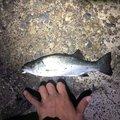 シーアツさんの千葉県柏市での釣果写真
