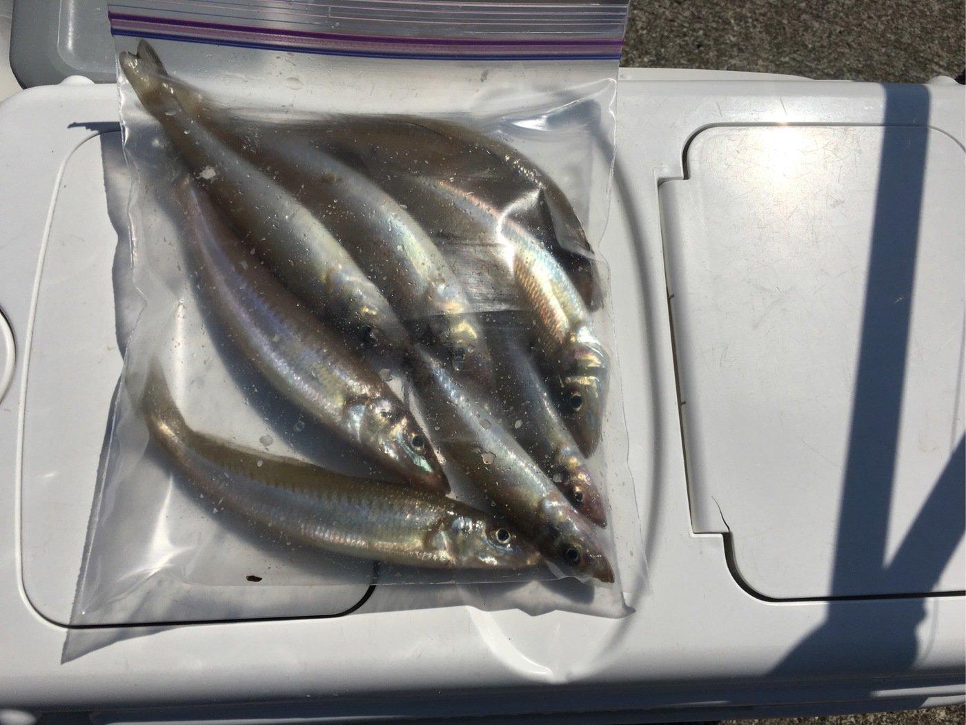 sshiratoさんの投稿画像,写っている魚はシロギス