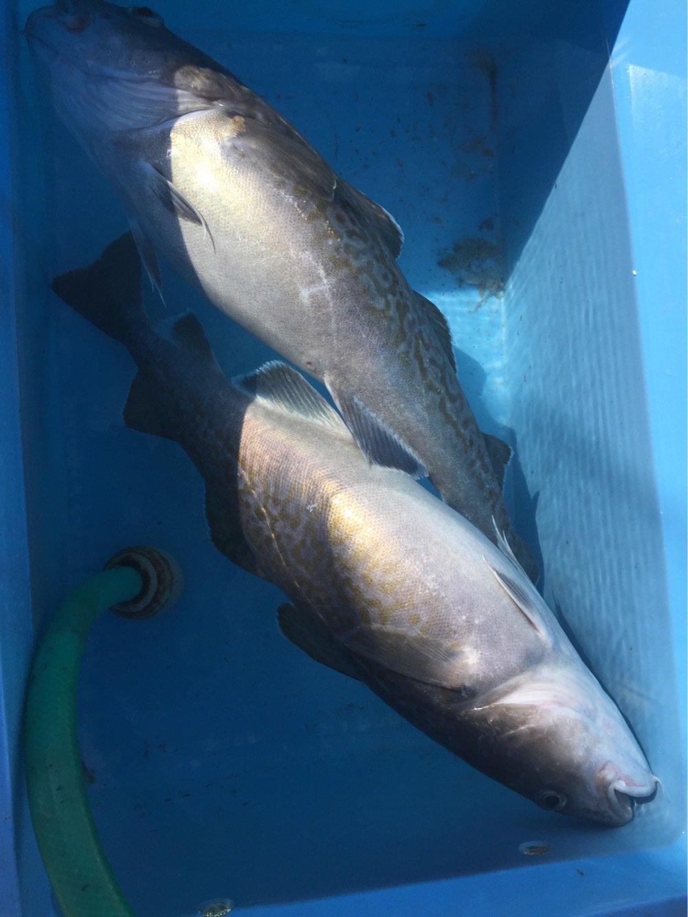 武井則之さんの投稿画像,写っている魚はマダラ