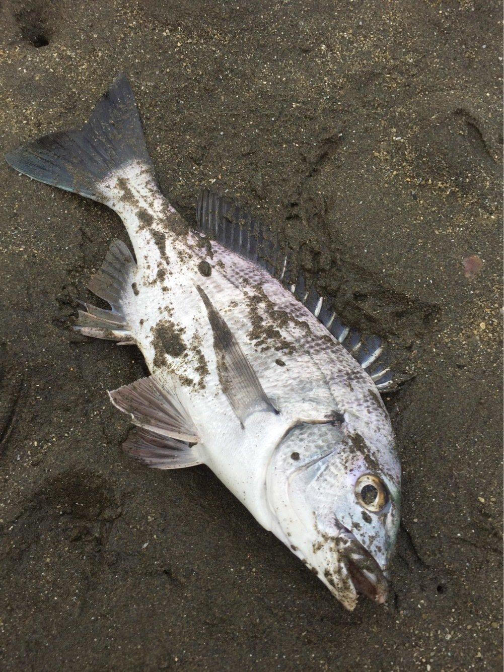 小物ハンターさんの投稿画像,写っている魚はクロダイ
