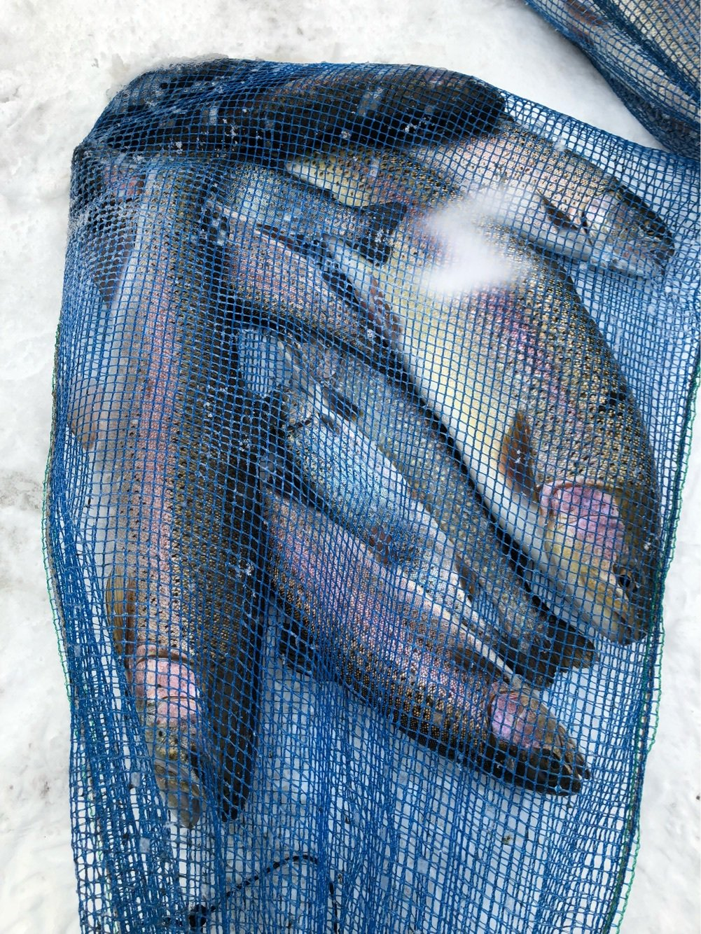 hope5544さんの投稿画像,写っている魚はニジマス