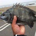 釣坊主さんの茨城県ひたちなか市でのクロダイの釣果写真