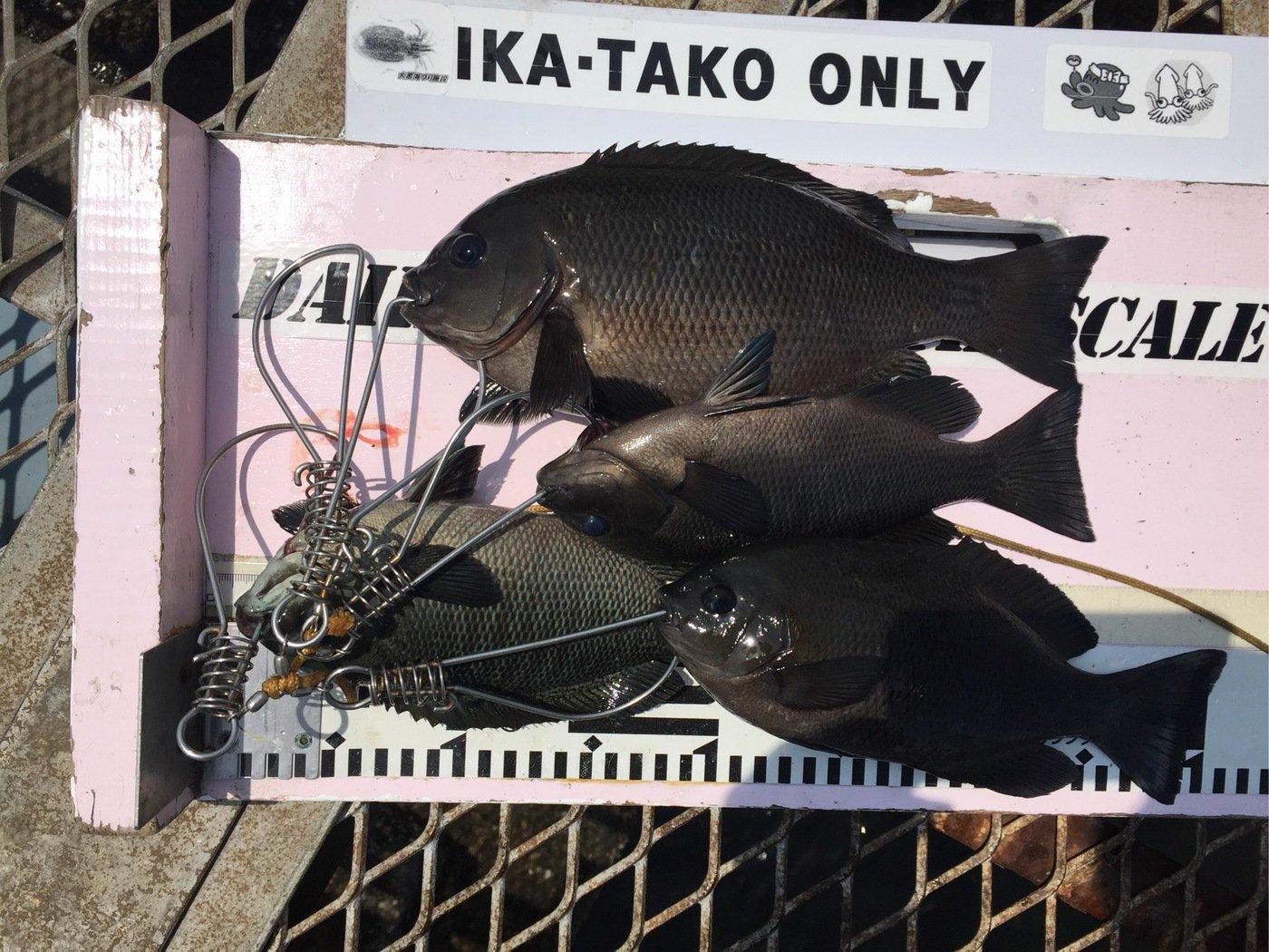 さわさんの投稿画像,写っている魚はメジナ