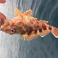 sJimさんの長崎県松浦市でのカサゴの釣果写真