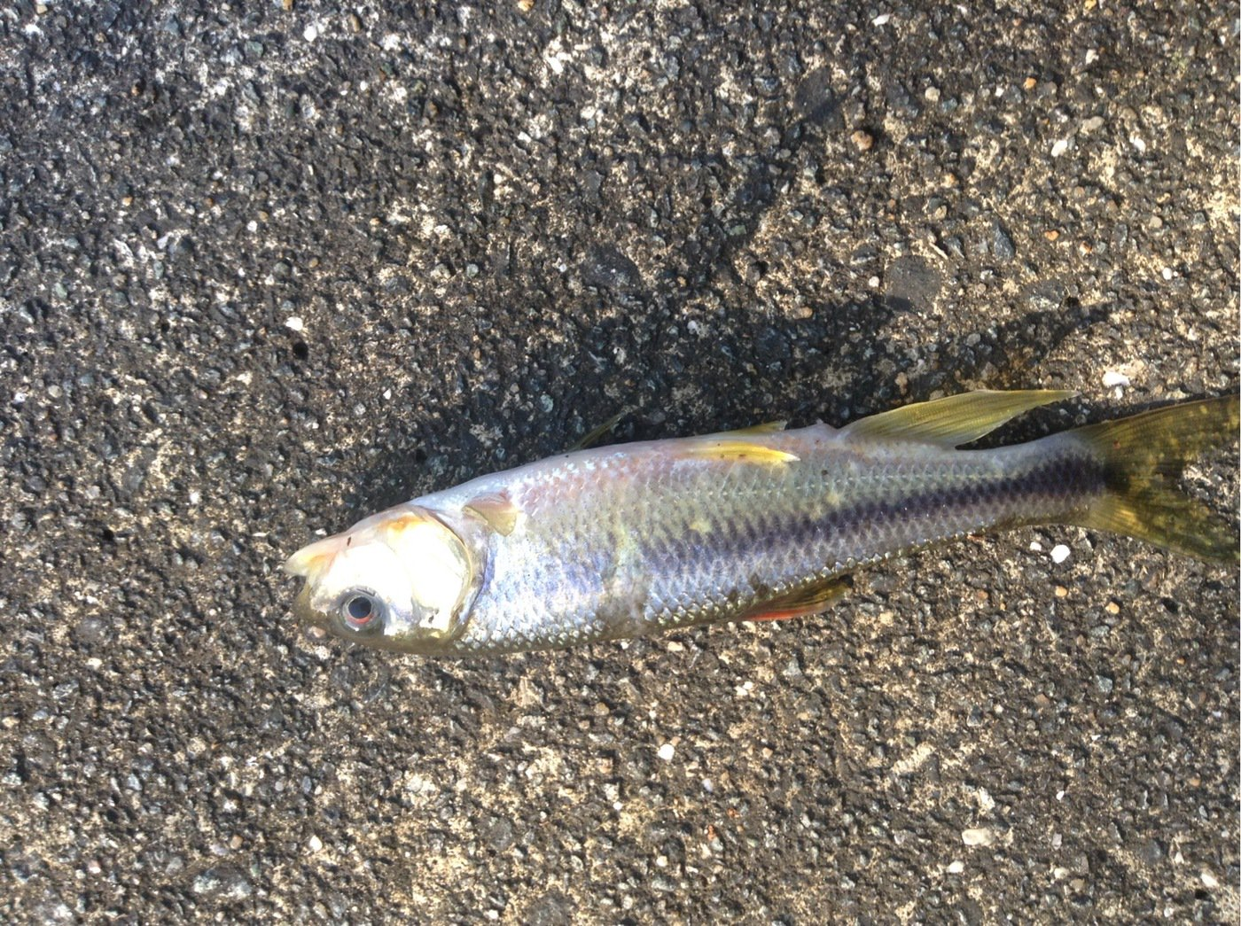 Georgeさんの投稿画像,写っている魚は