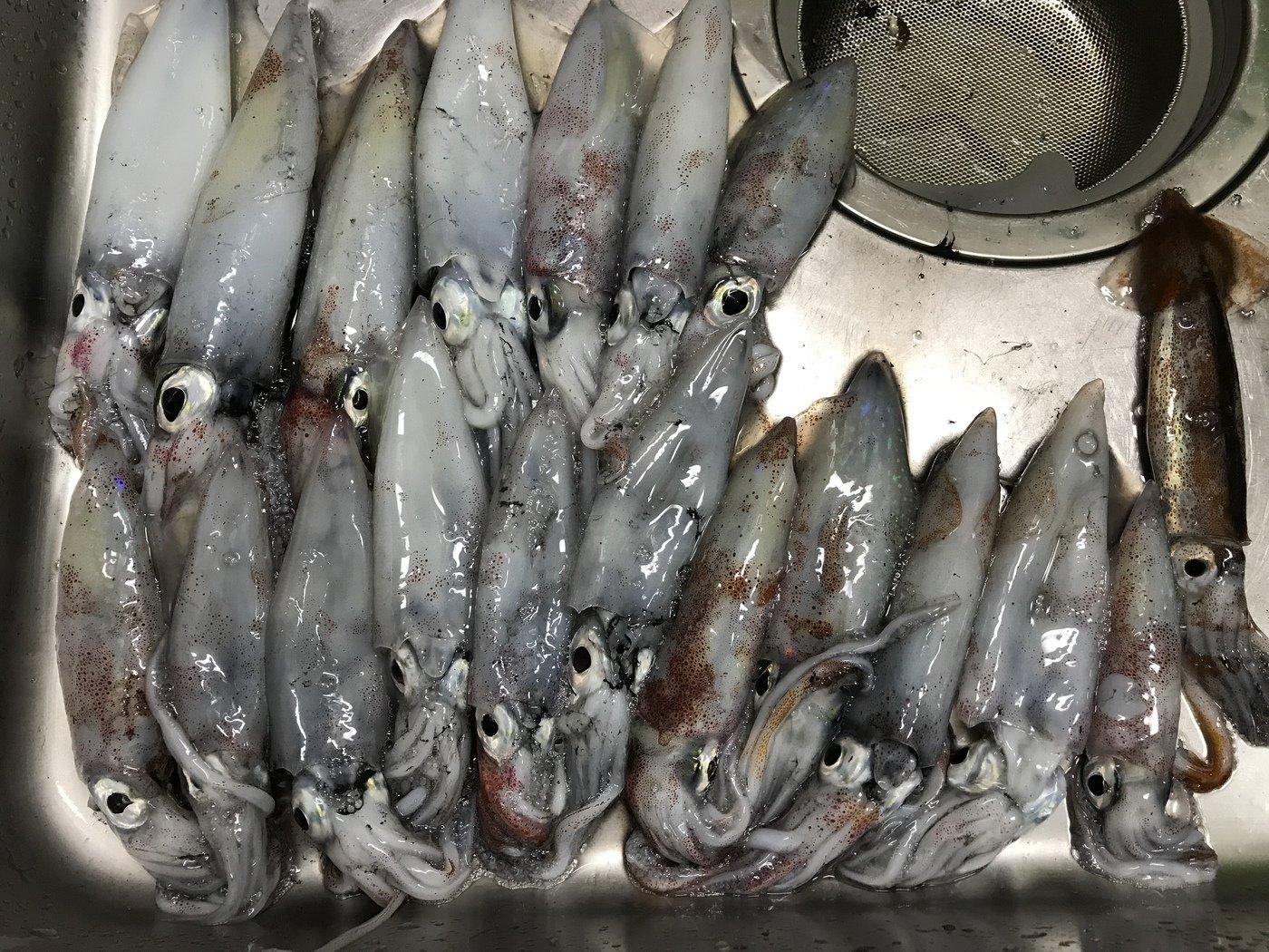 K.sumi@nuko4541さんの投稿画像,写っている魚はケンサキイカ,スルメイカ