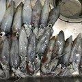 iKa.sumiさんの佐賀県東松浦郡でのスルメイカの釣果写真