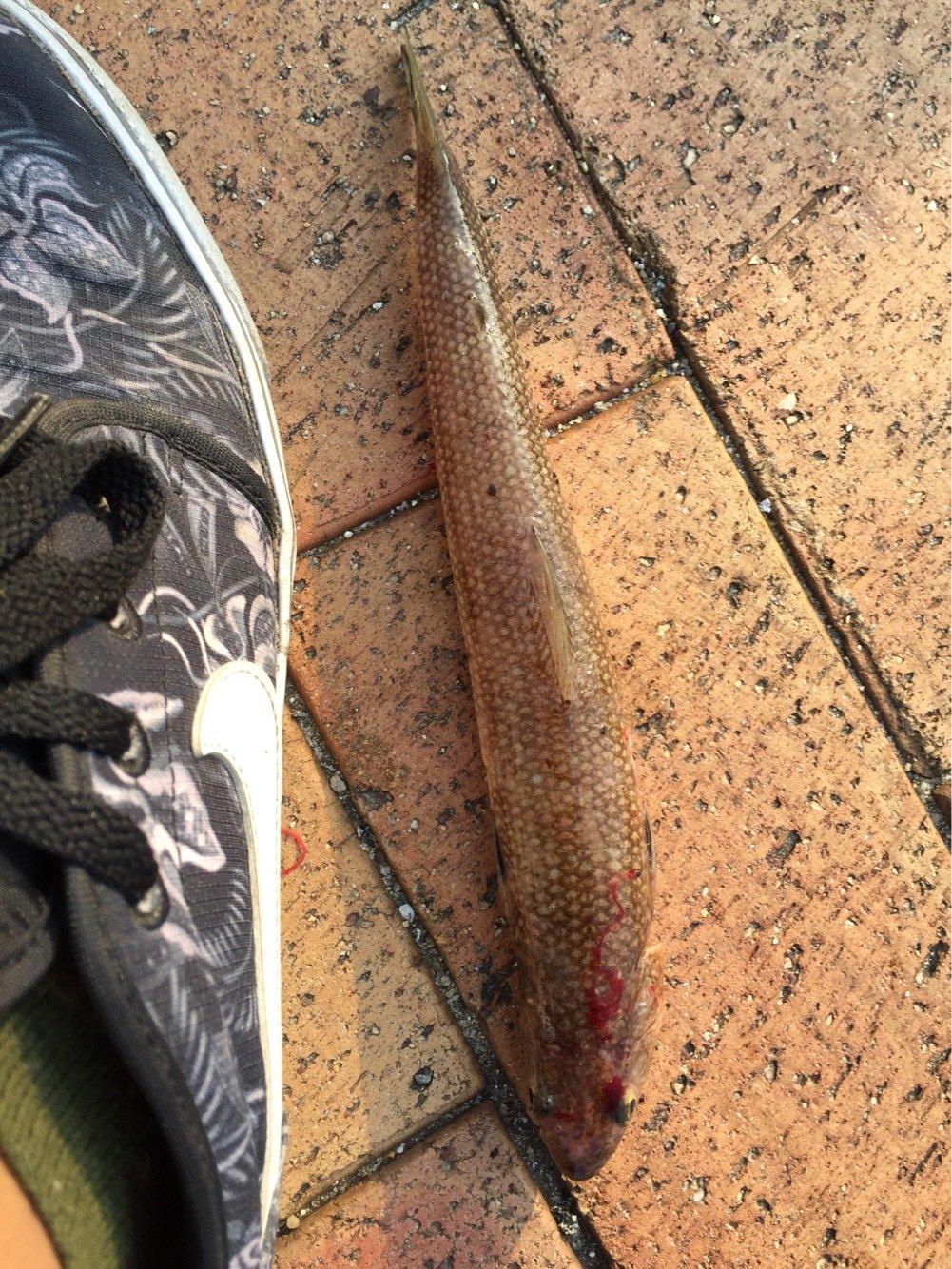 コスパのラパラさんの投稿画像,写っている魚はエソ