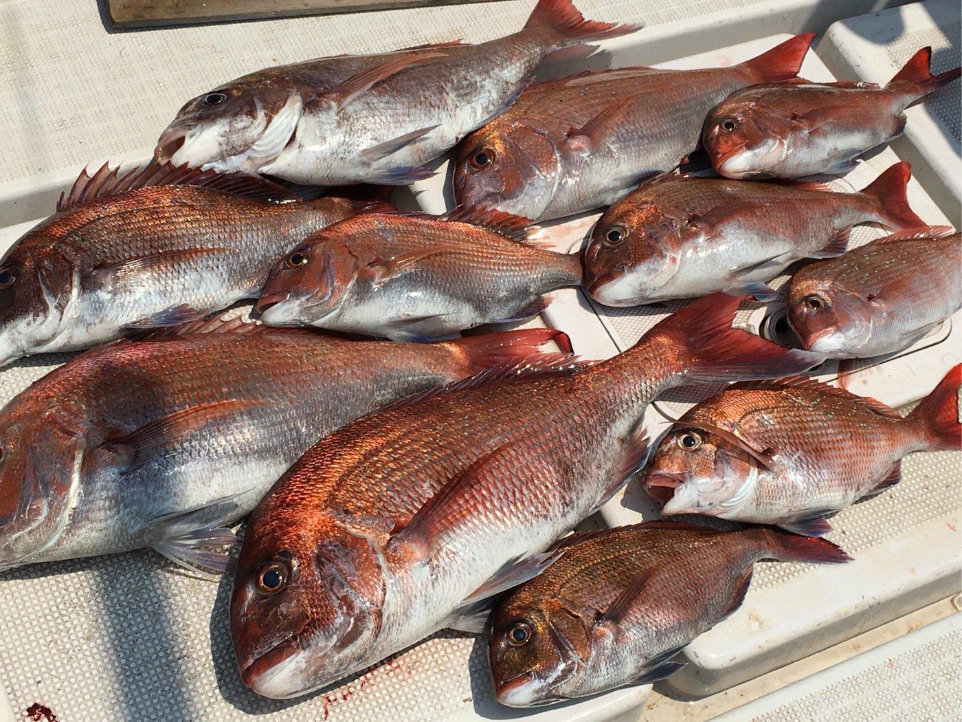 どんすけさんの投稿画像,写っている魚はマダイ