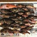ケンさんの鹿児島県出水郡でのカサゴの釣果写真
