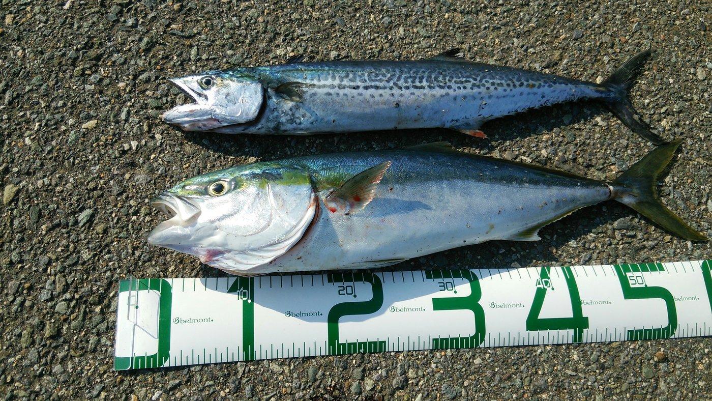 田村 雄さんの投稿画像,写っている魚はワラサ