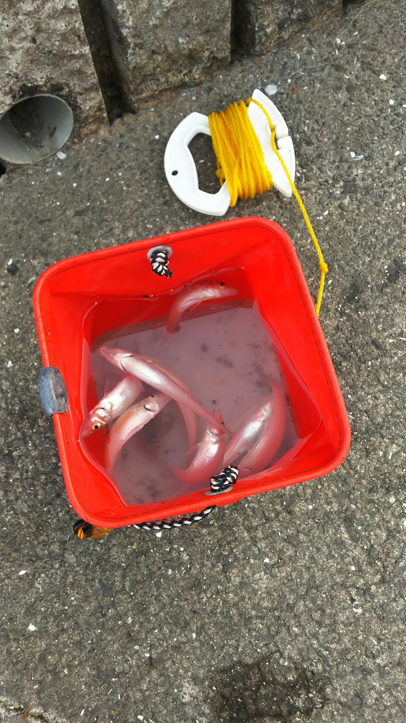 かずくんさんの投稿画像,写っている魚はシロギス