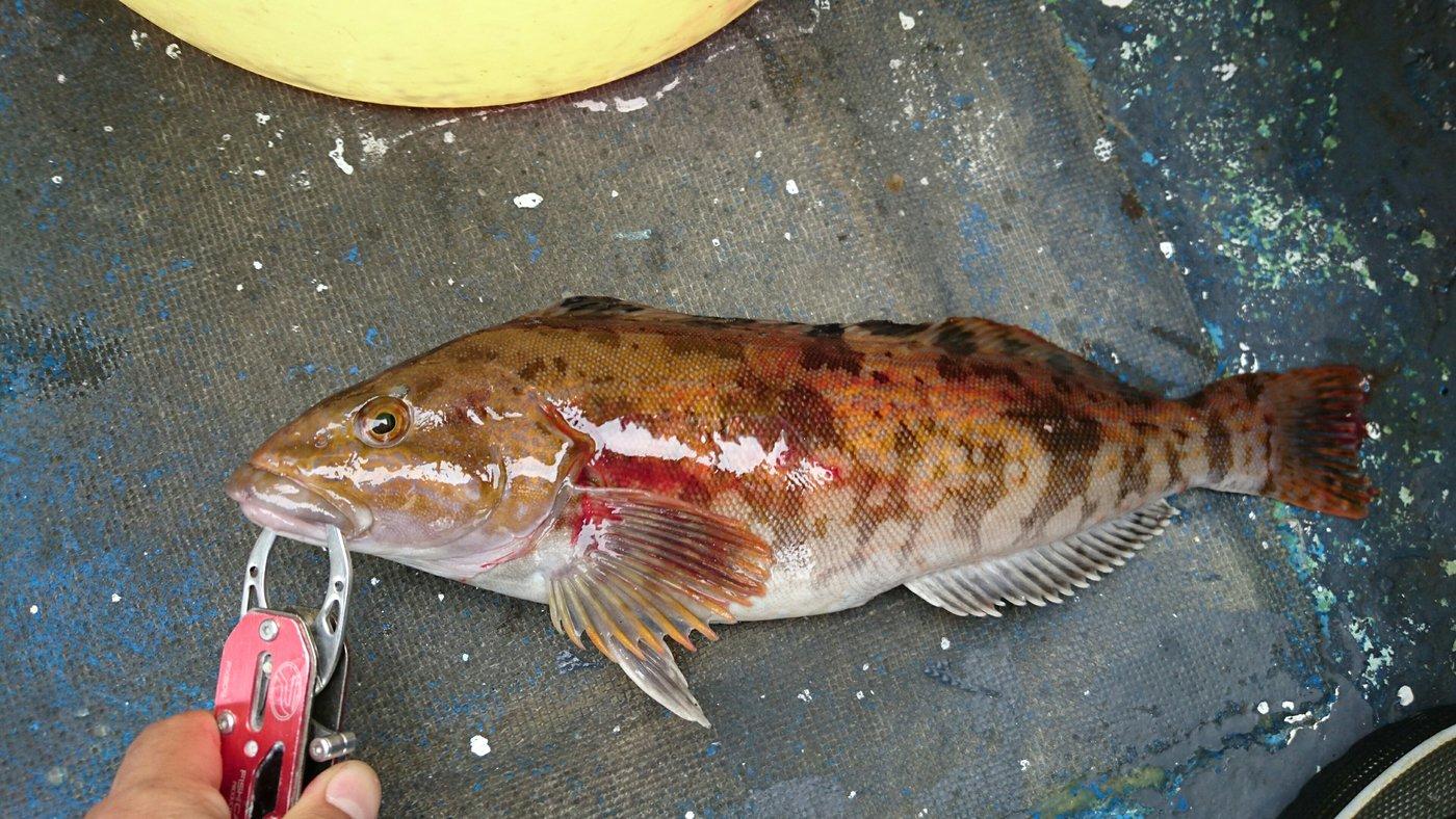 yataさんの投稿画像,写っている魚はアイナメ