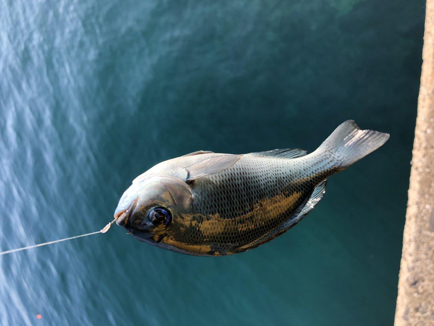 KsKさんの投稿画像,写っている魚はメジナ