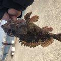こたさんの静岡県湖西市でのカサゴの釣果写真