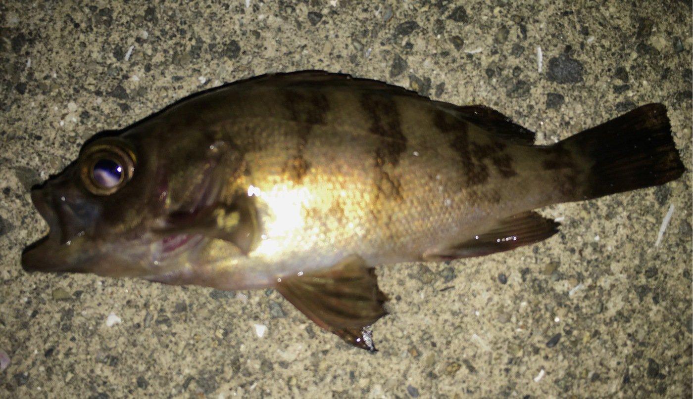 アングラー☆ヒロさんの投稿画像,写っている魚はメバル