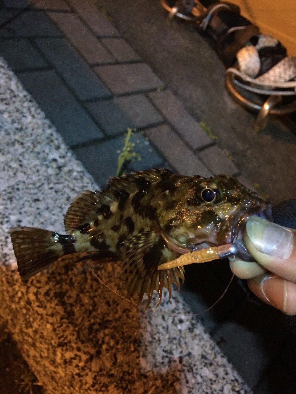 ひで吉さんの投稿画像,写っている魚はアカカサゴ