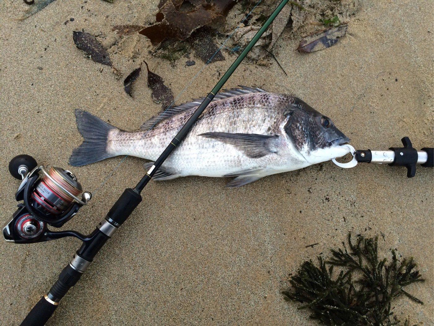 エンドウさんの投稿画像,写っている魚はクロダイ