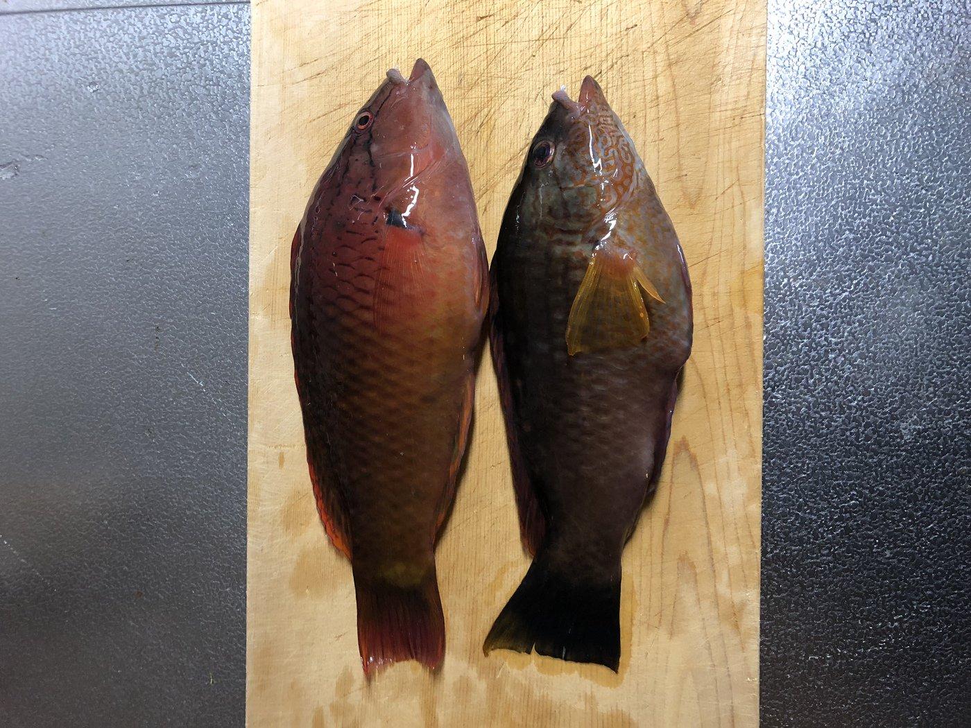 まゆりさんの投稿画像,写っている魚はアカササノハベラ