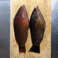 まゆりさんの福岡県北九州市でのアカササノハベラの釣果写真