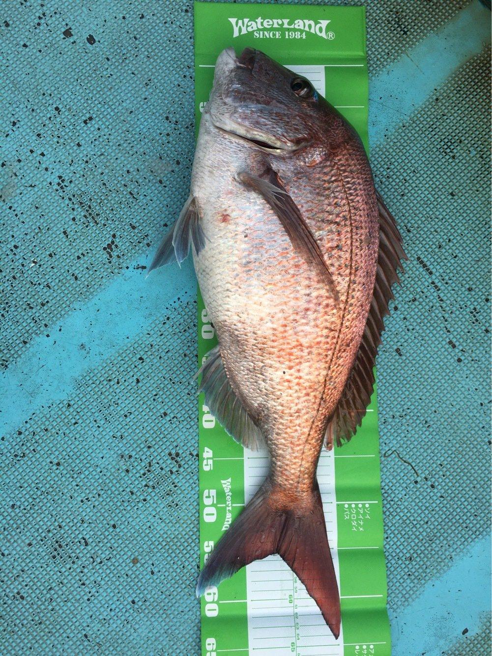 たけさんさんの投稿画像,写っている魚はマダイ