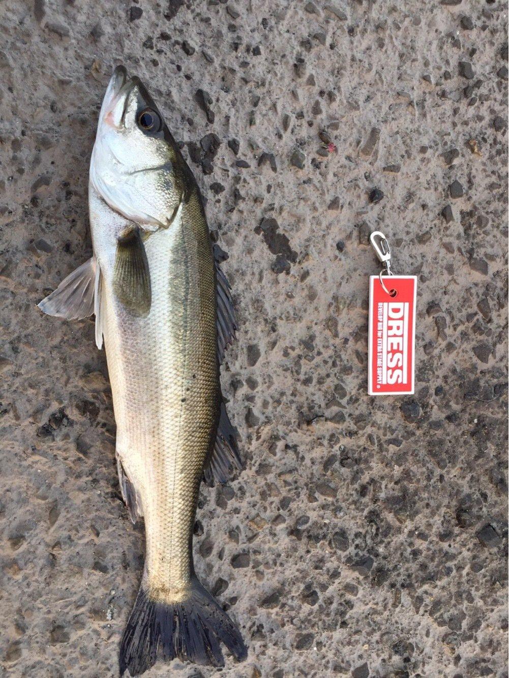 ko-heyさんの投稿画像,写っている魚はスズキ