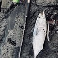 ARATAさんの鹿児島県熊毛郡でのスマの釣果写真