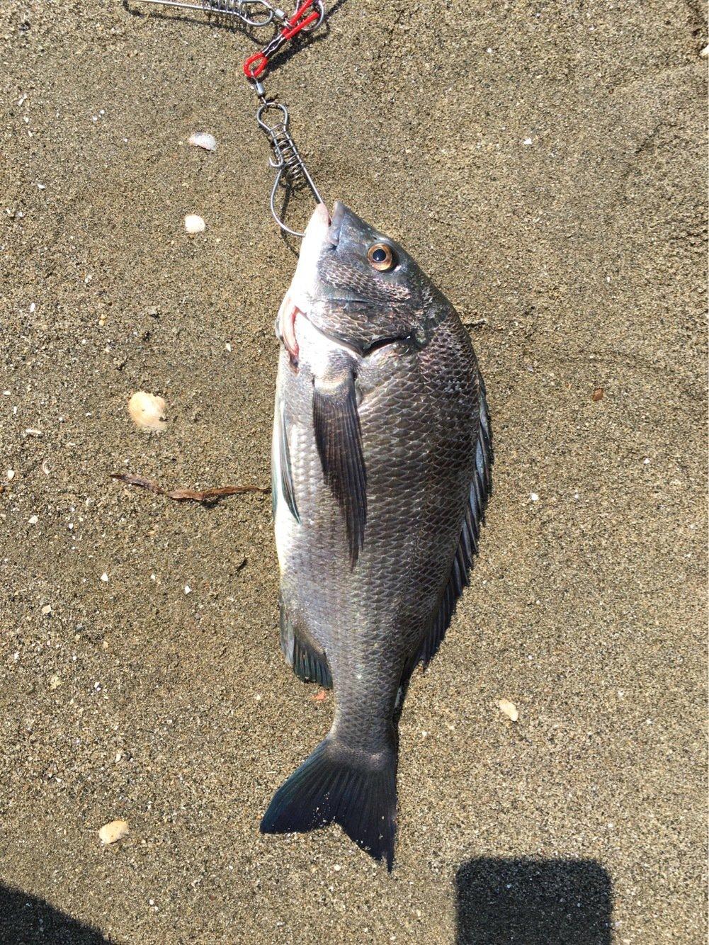 マスミさんの投稿画像,写っている魚はクロダイ