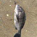 マスミさんの愛知県知多市でのクロダイの釣果写真