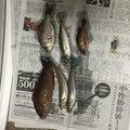 🌅白くま伝助さんの福岡県糸島市でのアカササノハベラの釣果写真