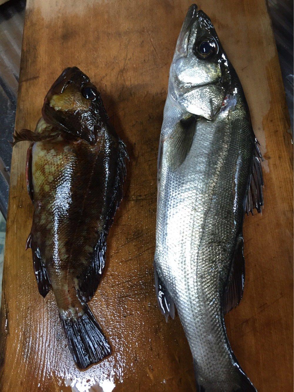 ヨッシーK2さんの投稿画像,写っている魚はスズキ