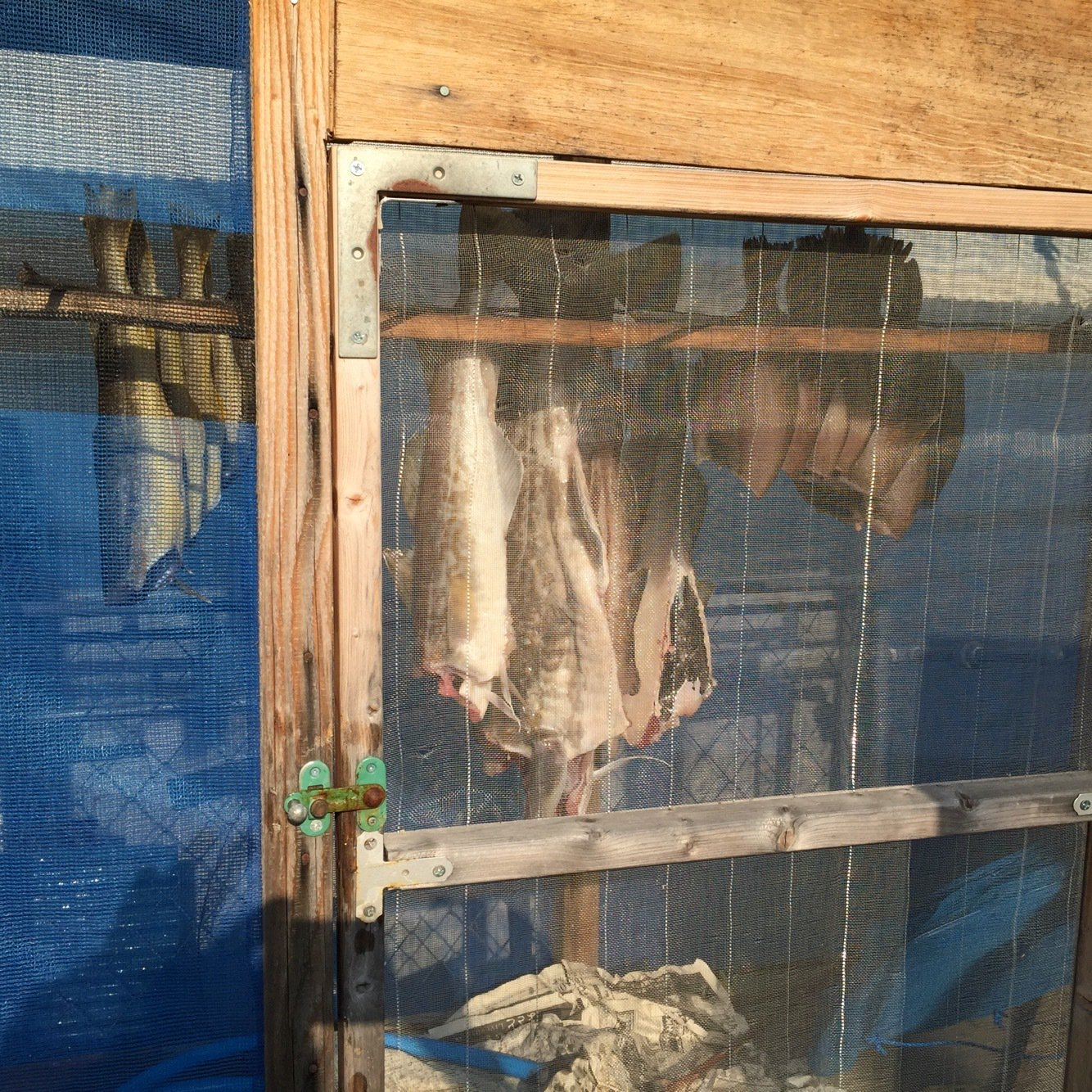 岩谷昌幸さんの投稿画像,写っている魚はマダラ
