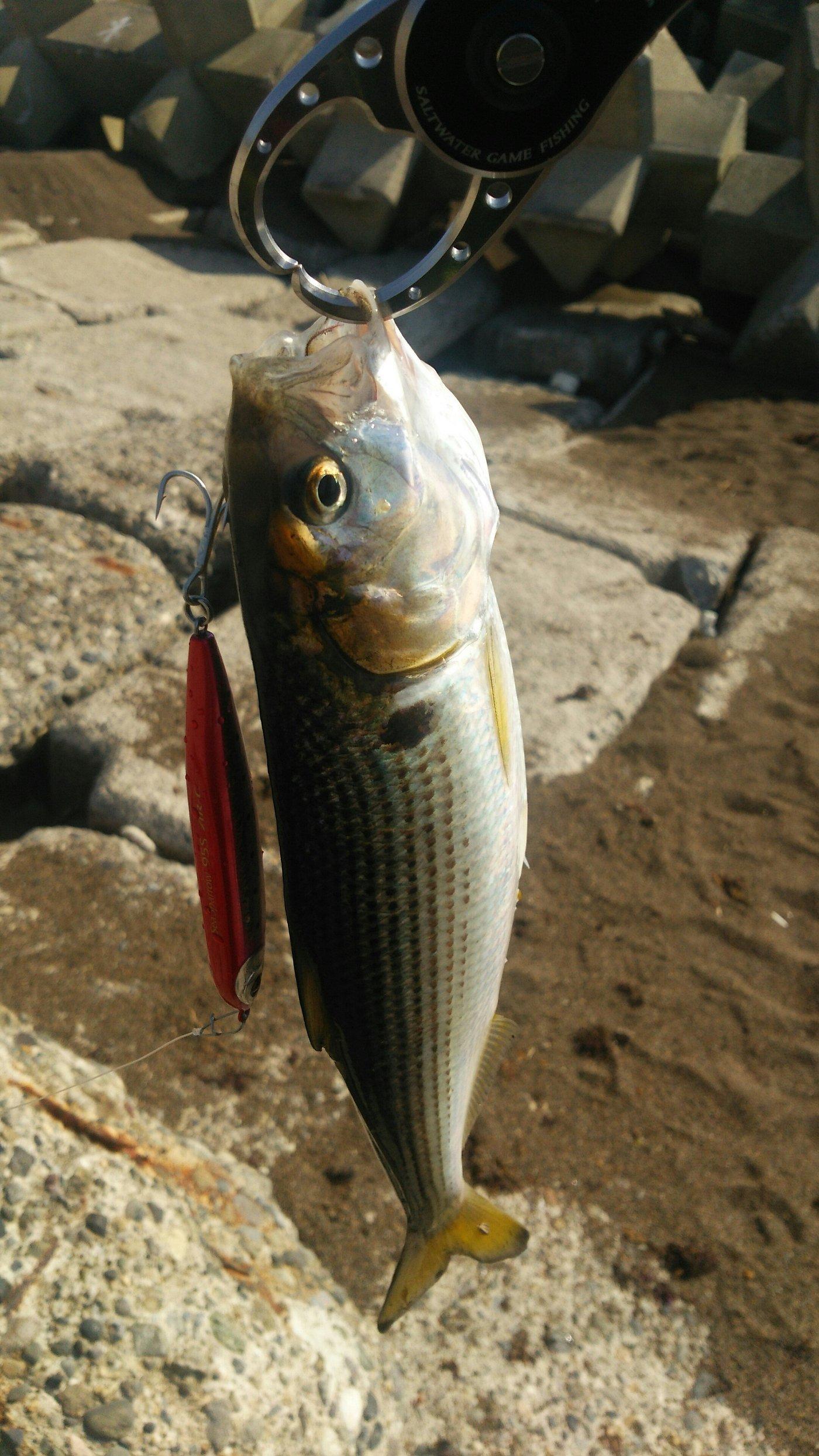 スーさんさんの投稿画像,写っている魚はコノシロ