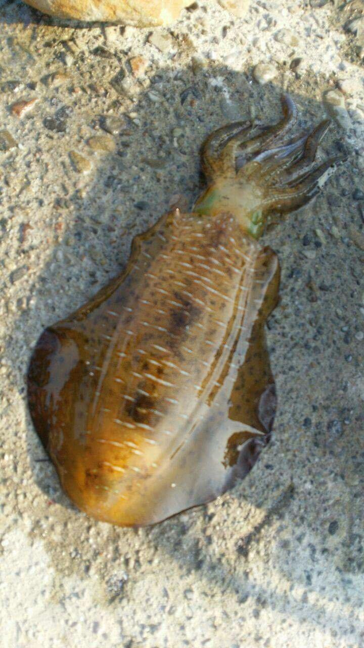 さんきちさんの投稿画像,写っている魚はアオリイカ