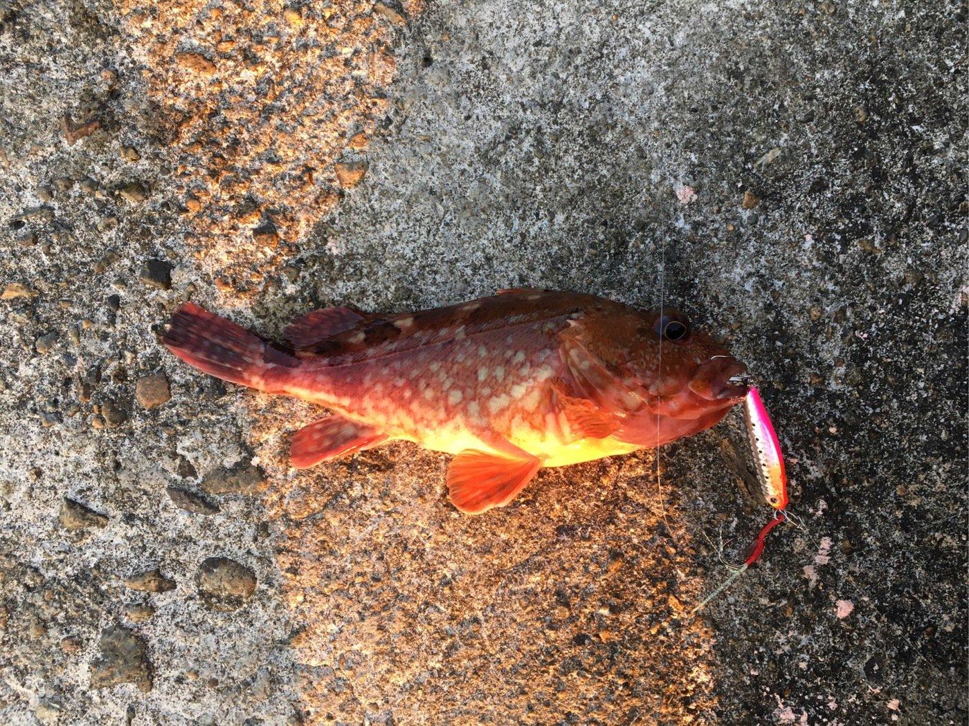 powlandさんの投稿画像,写っている魚はカサゴ