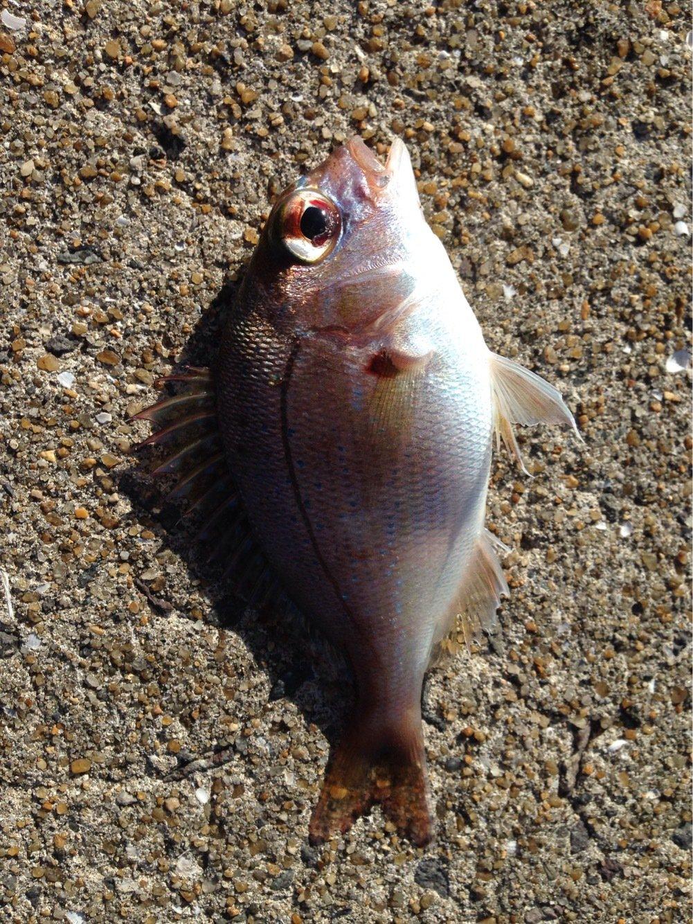 はやしさんの投稿画像,写っている魚は