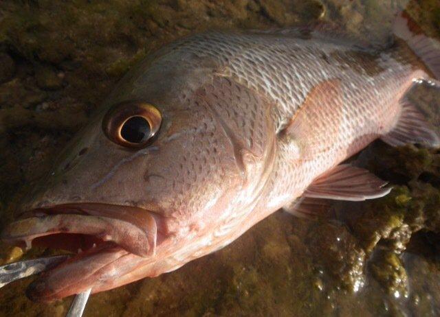 スズキリさんの投稿画像,写っている魚はゴマフエダイ