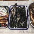 釣キチyzooさんの広島県江田島市でのキュウセンの釣果写真