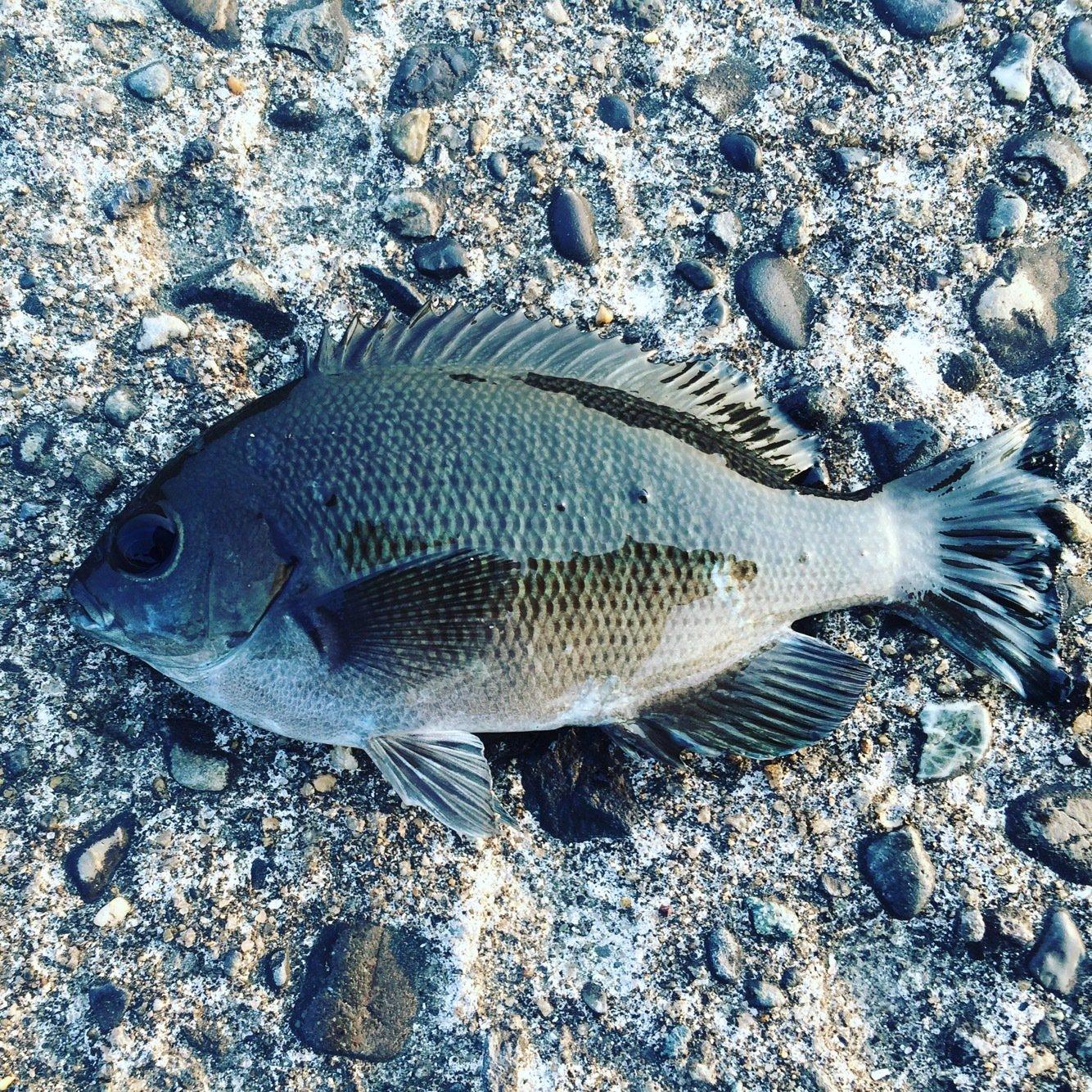 フィッシャーさんの投稿画像,写っている魚はメジナ