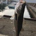 だいさんの鹿児島県霧島市でのスズキの釣果写真