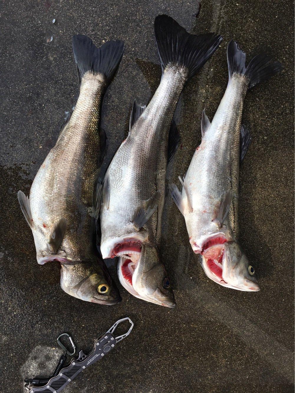 だいさんの投稿画像,写っている魚はスズキ