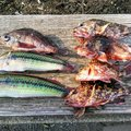 ガキおやじさんの神奈川県逗子市でのカサゴの釣果写真