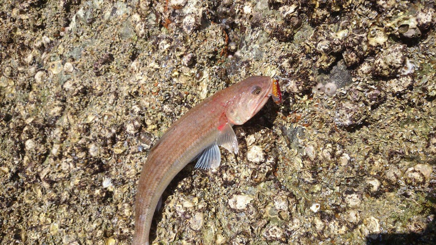 はったーさんの投稿画像,写っている魚はエソ