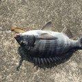 釣りにっく とみさんの愛知県東海市でのクロダイの釣果写真