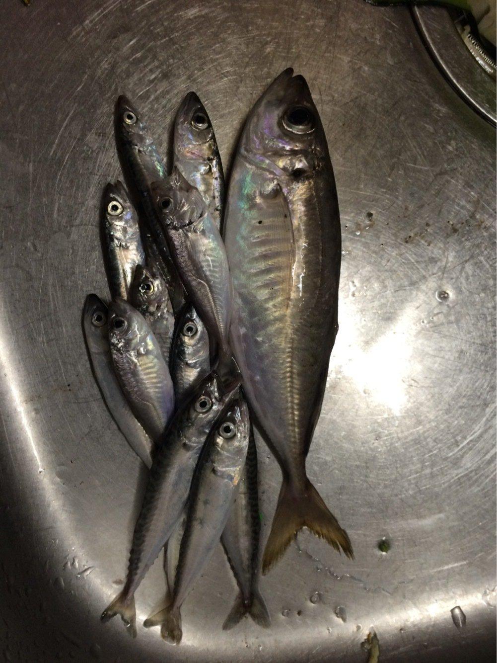 Mさんの投稿画像,写っている魚はアジ