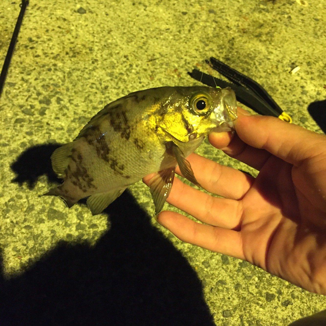 Rさんの投稿画像,写っている魚はメバル