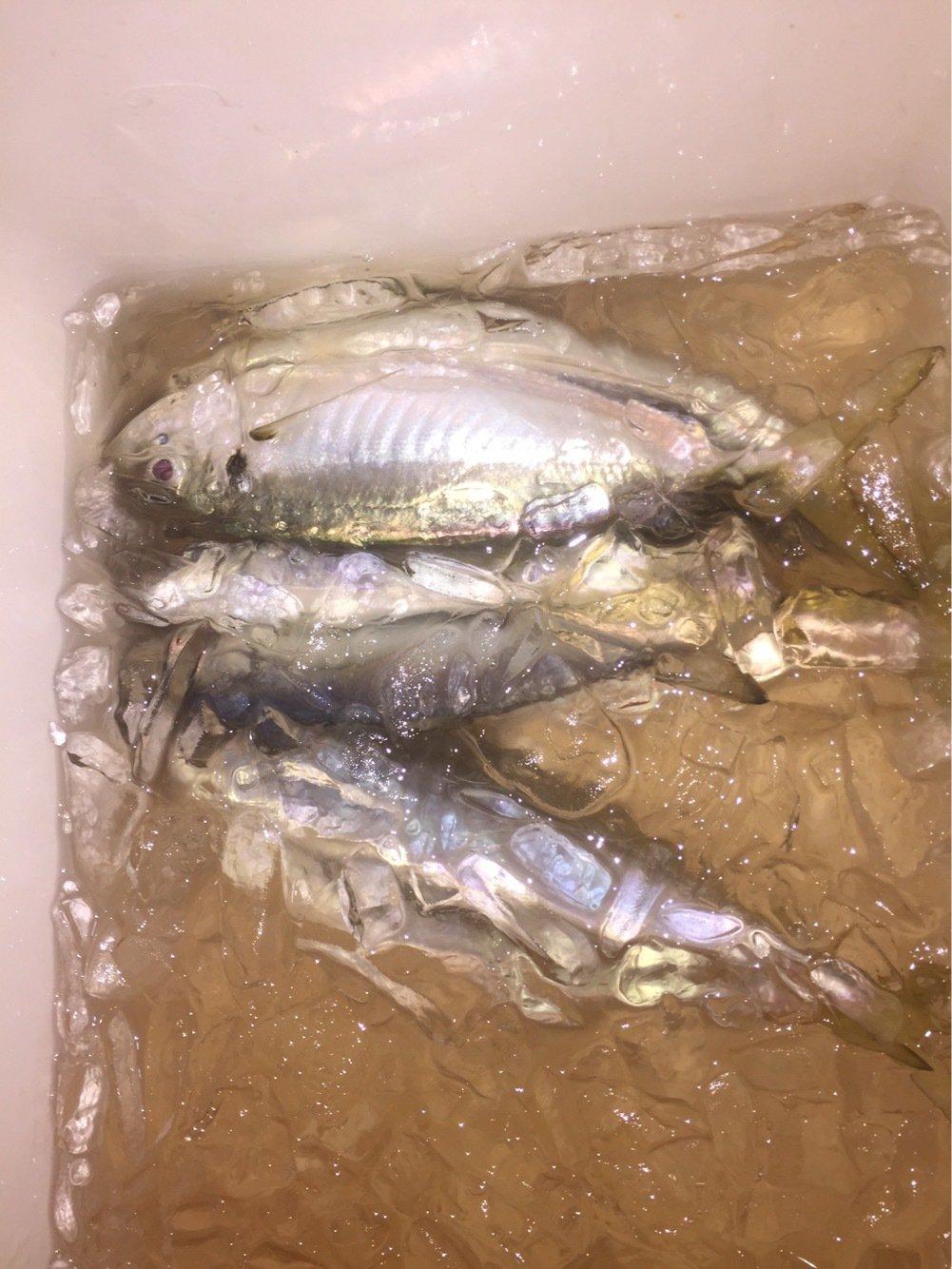 がさちんさんの投稿画像,写っている魚はアジ